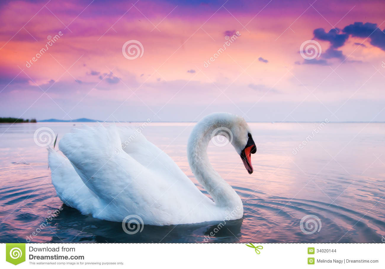Beautiful White Swan Stock Images - Image: 34020144