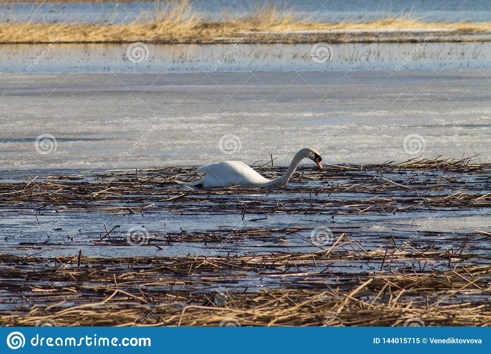 A beautiful white Swan swims in the lake, partially covered with ice on a Sunny spring day