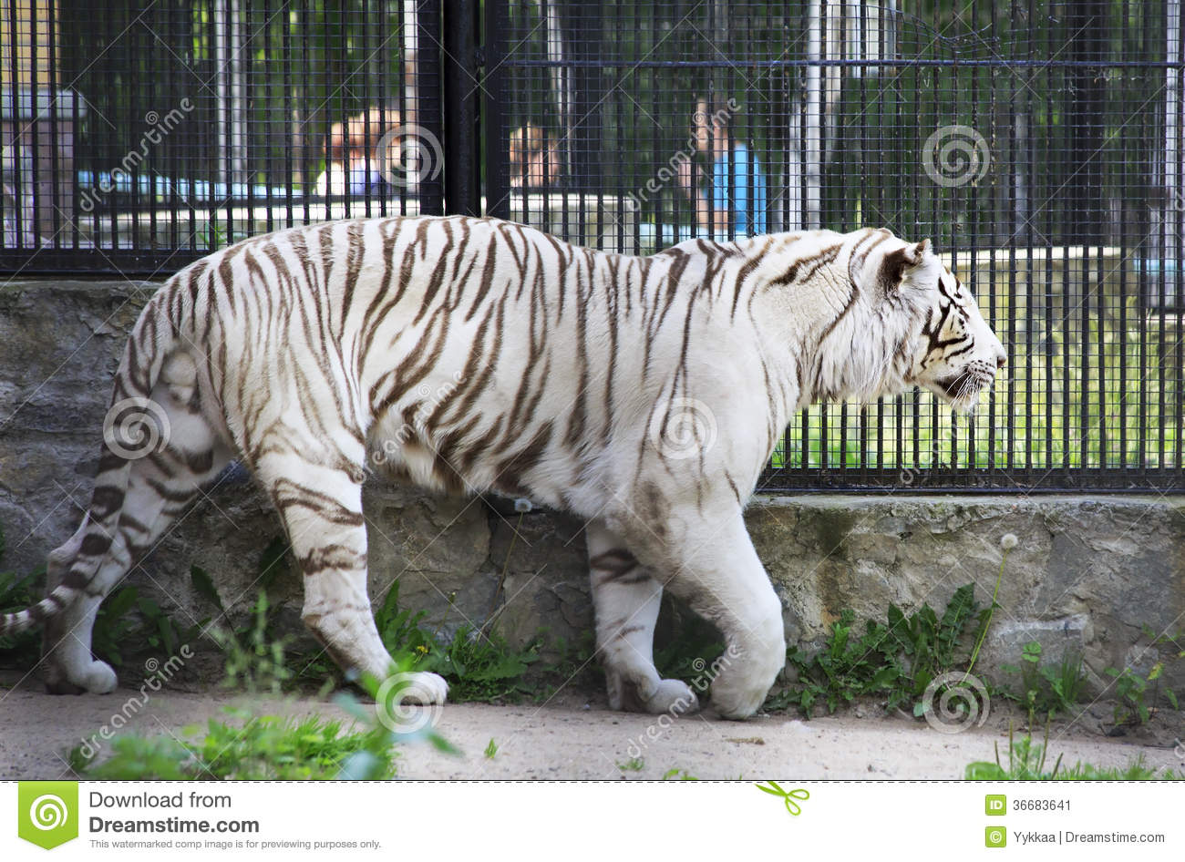 Beautiful white tiger in a cage stock image image of russia aviary 36683641 - Tiger in cage images ...