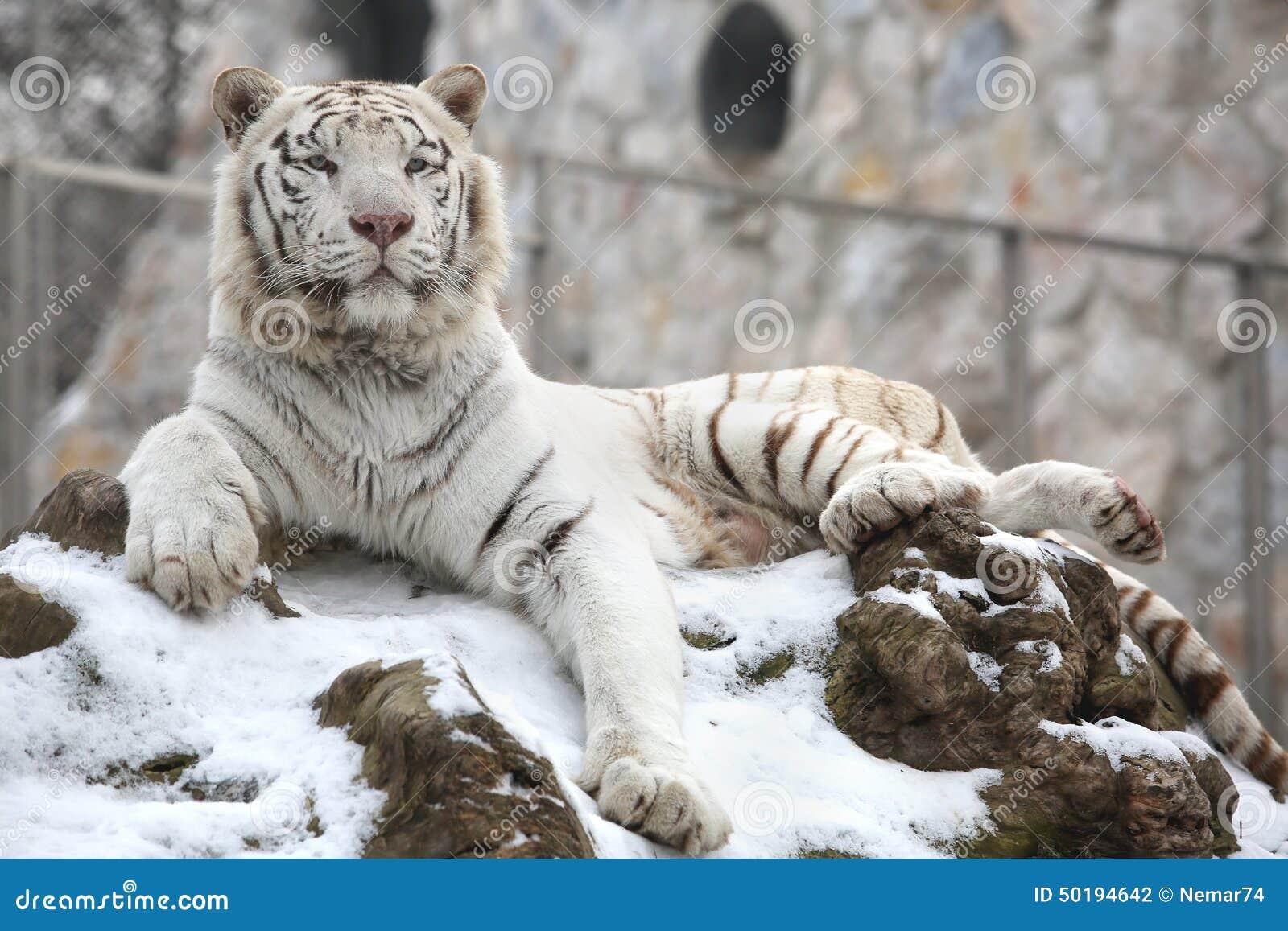 White siberian tiger in snow - photo#14