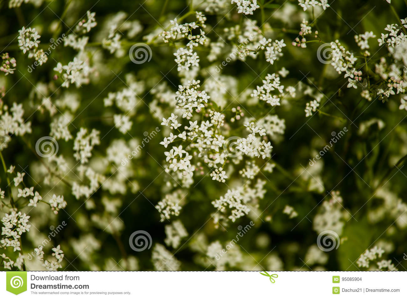 Beautiful White Tiny Flowers In A Natural Habitat In Summer Stock