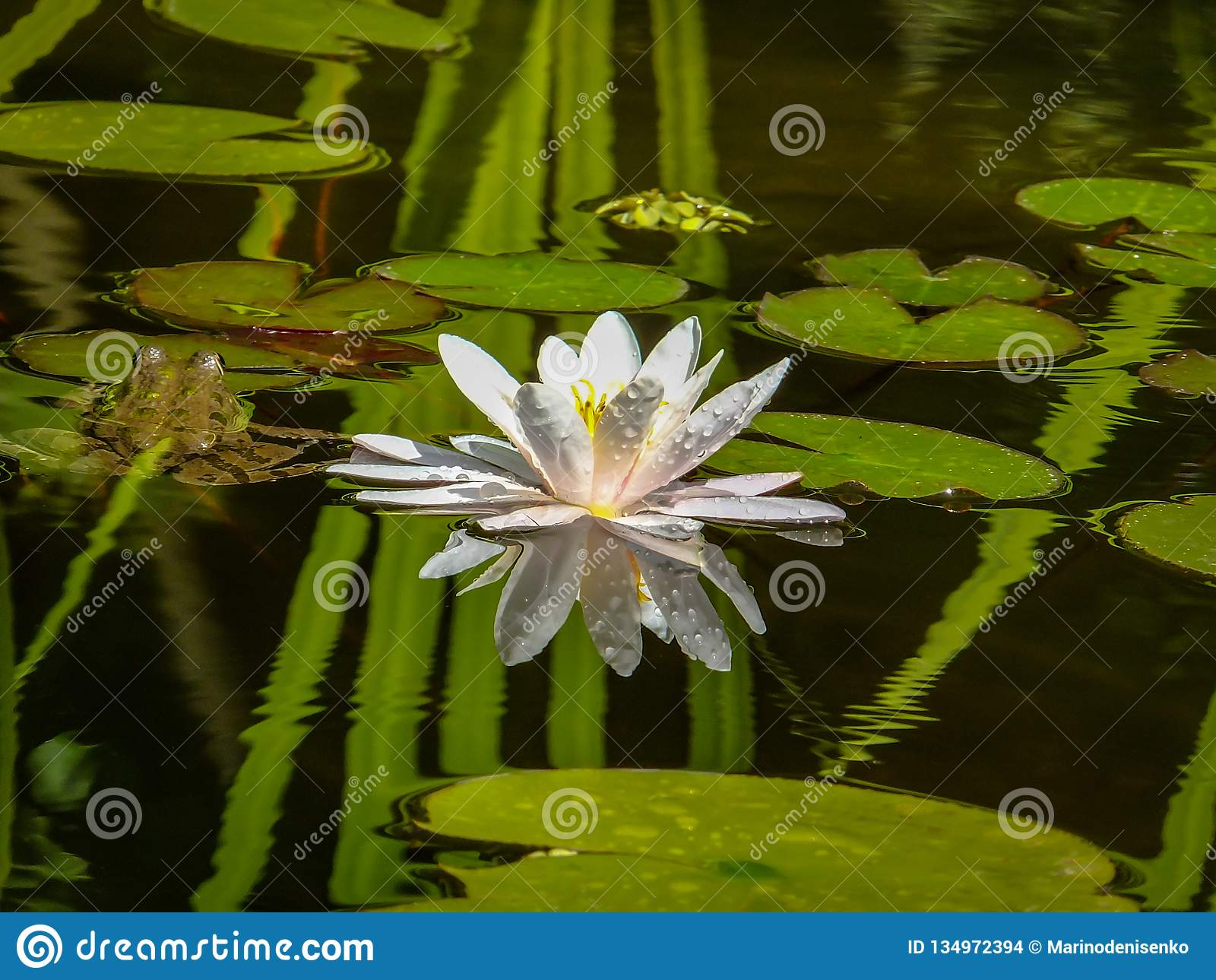 Beautiful white water lily or lotus flower Marliacea Rosea is reflected in black mirror of the pond with reflections of green leav