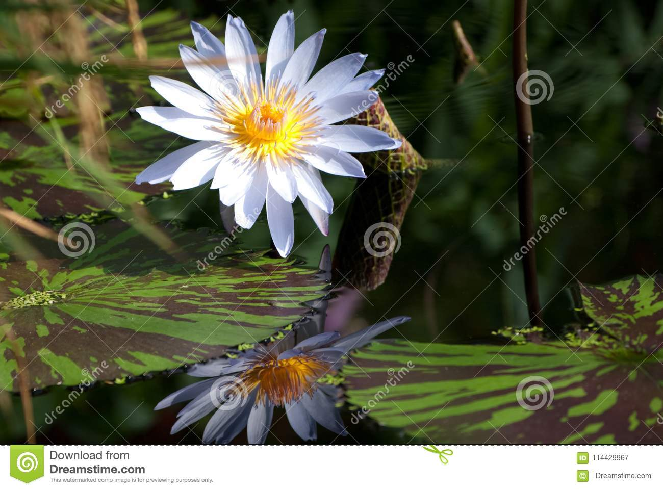 Lily pads stock flower picturesque pond picturesboss download beautiful white water lily and pad stock image of white natural jpg 1300x961 lily pads izmirmasajfo