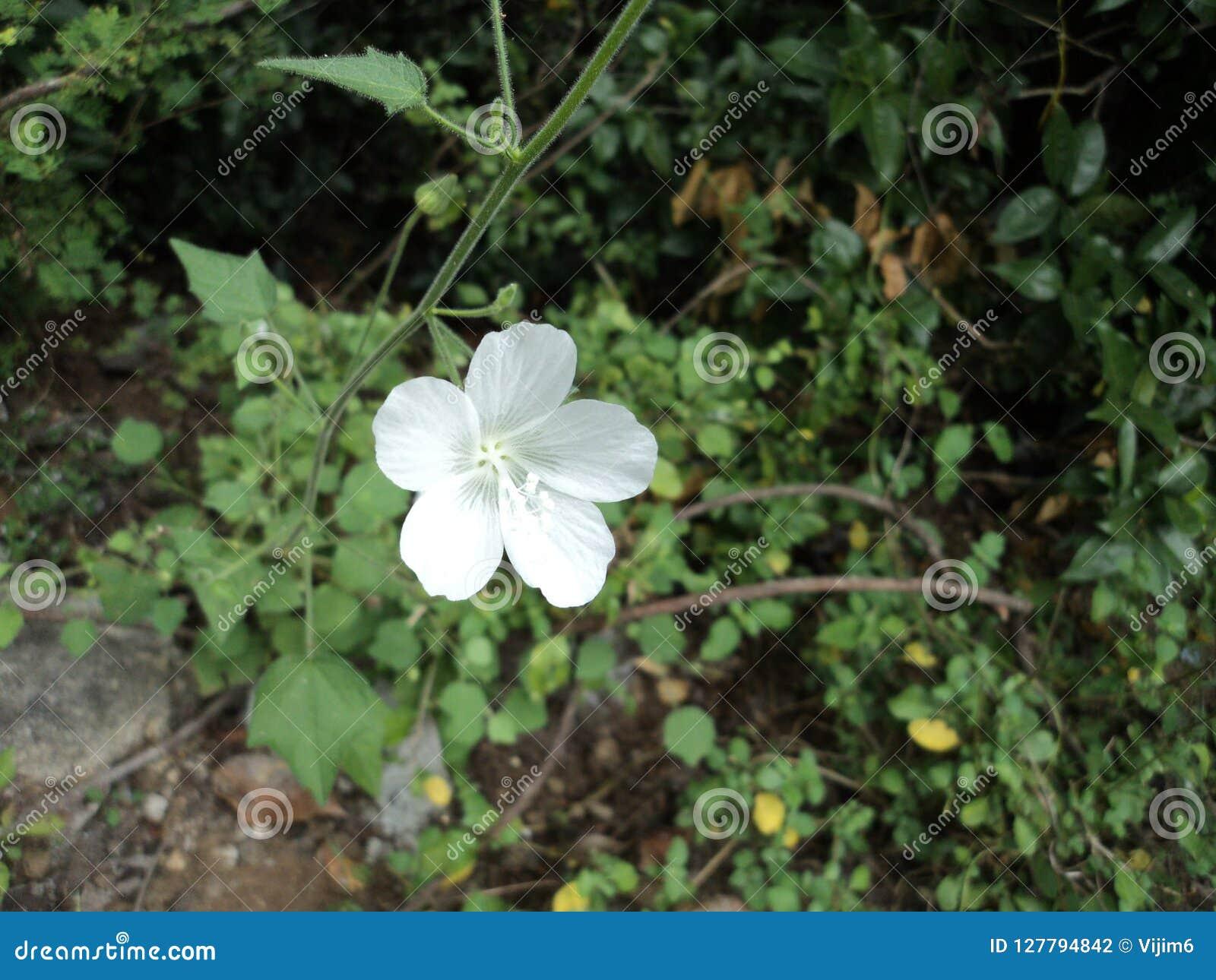 Beautiful White Weed Flower In The Kalakad Mundanthurai Forest Stock ...