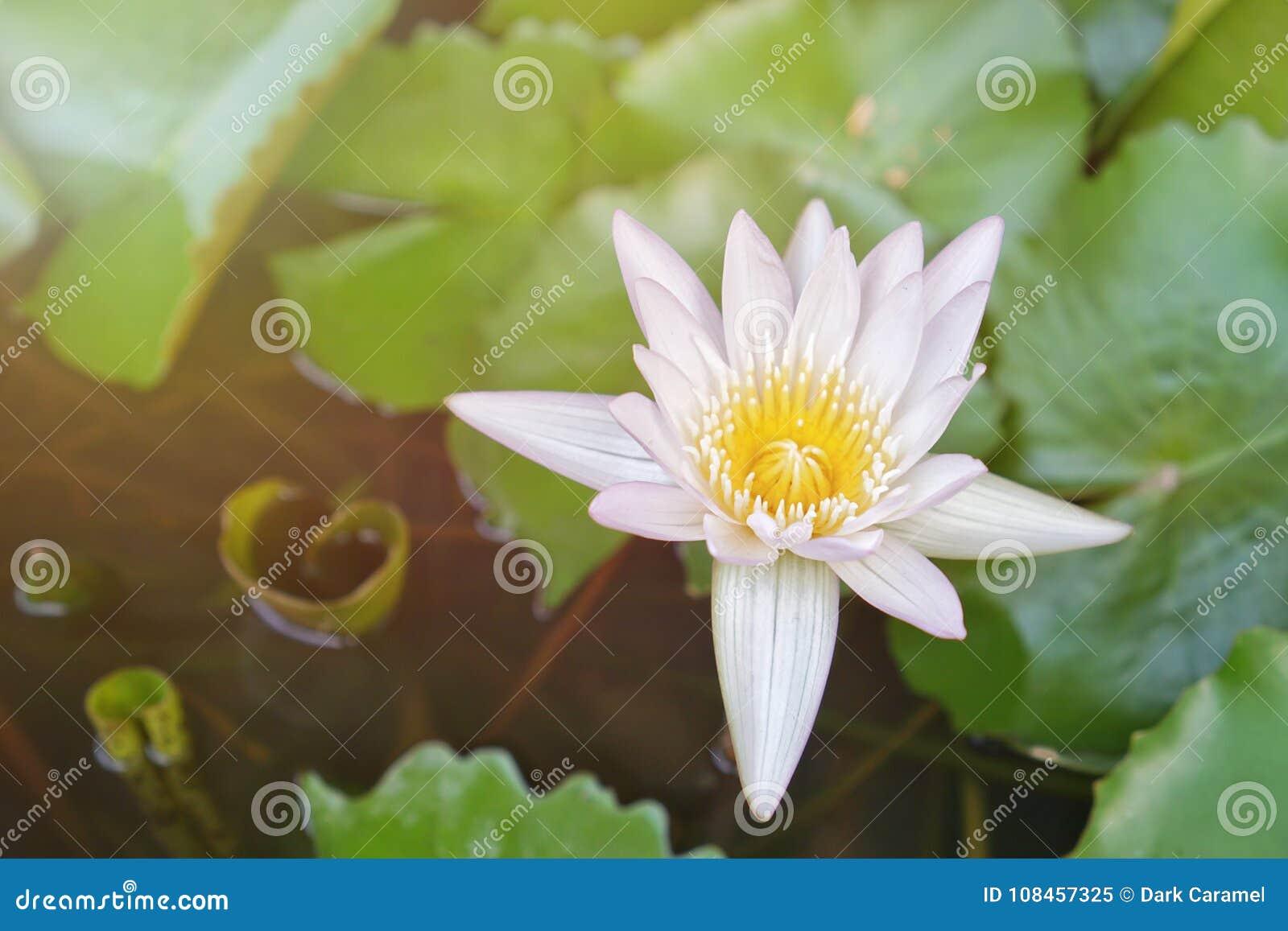 Beautiful White And Yellow Lotus Flowers Stock Image Image Of