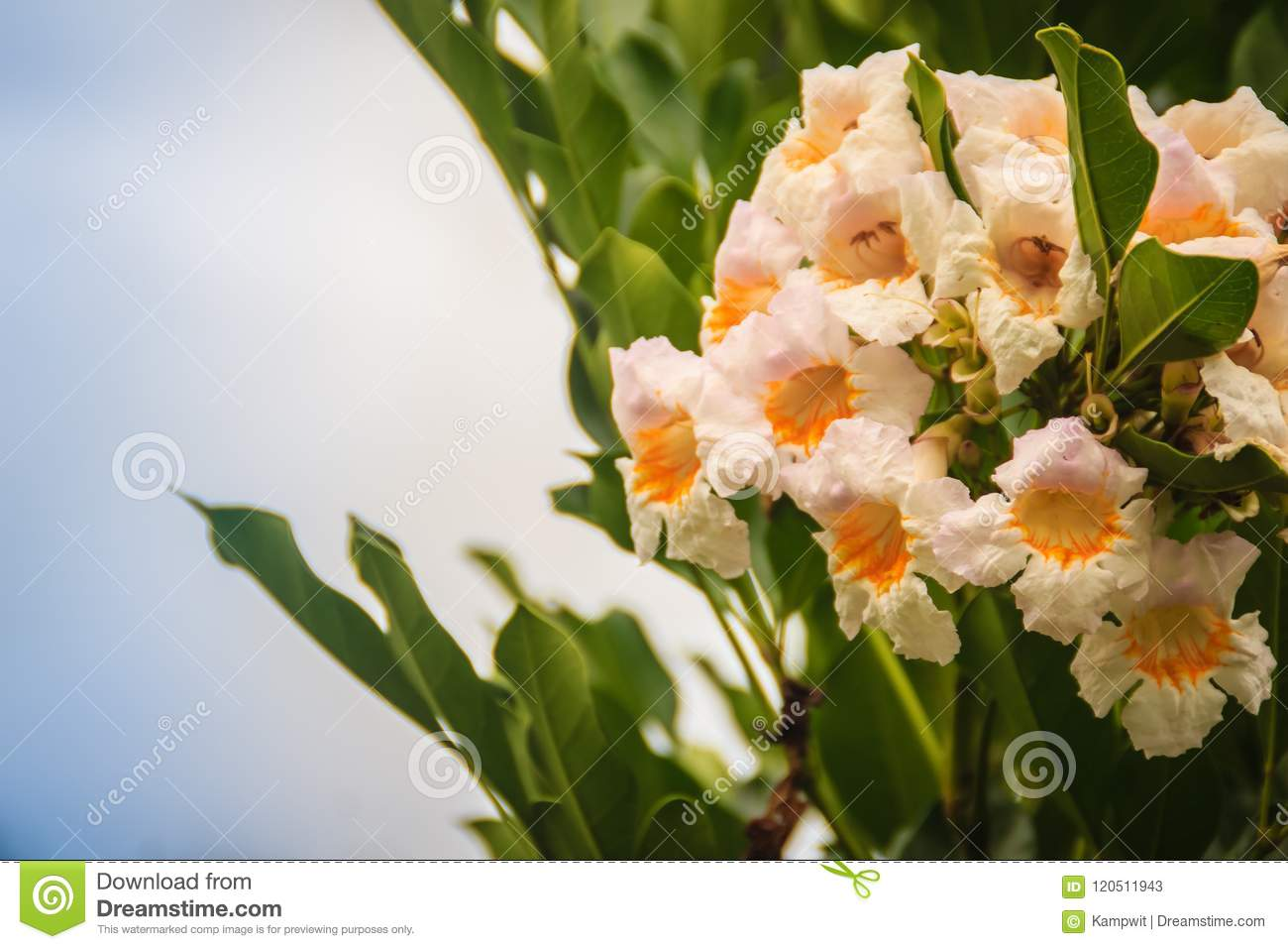 Beautiful White Yellow Wild Flowers Likes Trumpet Shaped With Blue