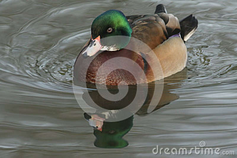 A beautiful wild cross breed Wood Duck or Carolina duck Aix sponsa male swimming on a river.