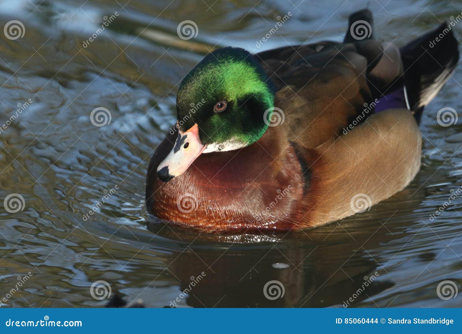 A beautiful wild cross breed Wood Duck or Carolina duck Aix sponsa male swimming on a river.