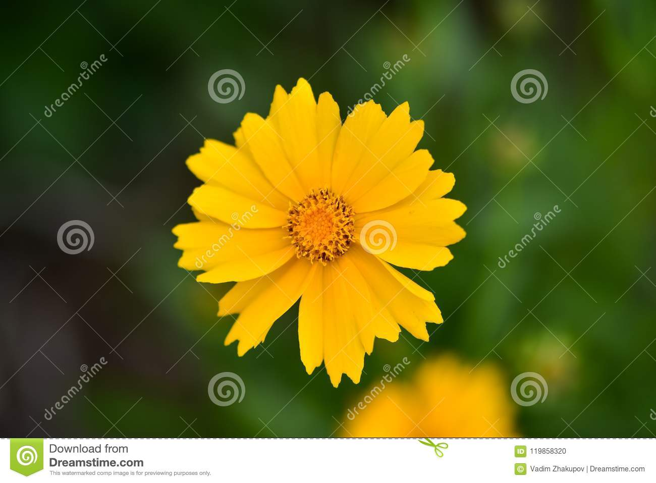 Beautiful Wild Flowers Cosmos On A Sunny Summer Day Stock Photo