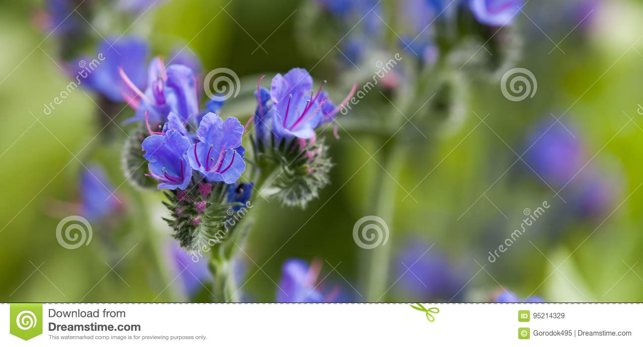 Beautiful wild flowers landscape. Poisonous plant Echium vulgare viper`s bugloss and blueweed flowering plant in the