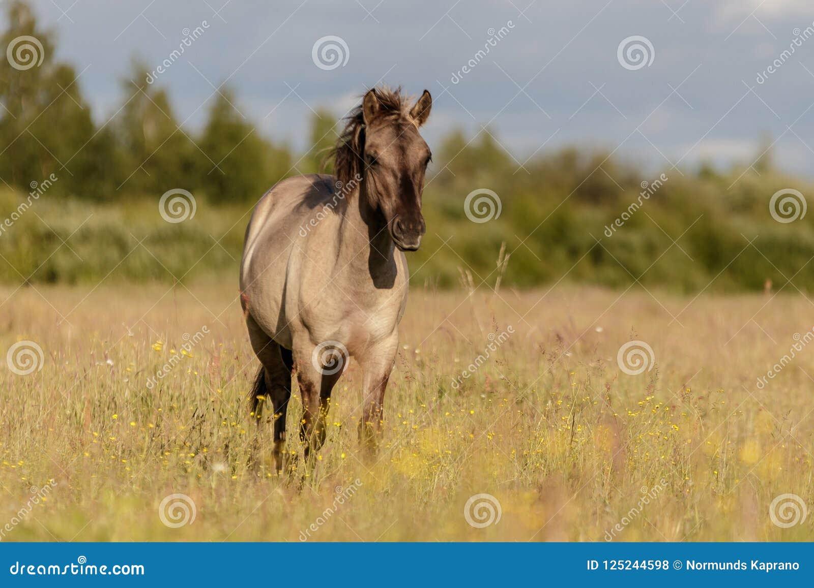 Beautiful Wild Horses In Grazing Stock Photo Image Of Beautiful Countryside 125244598
