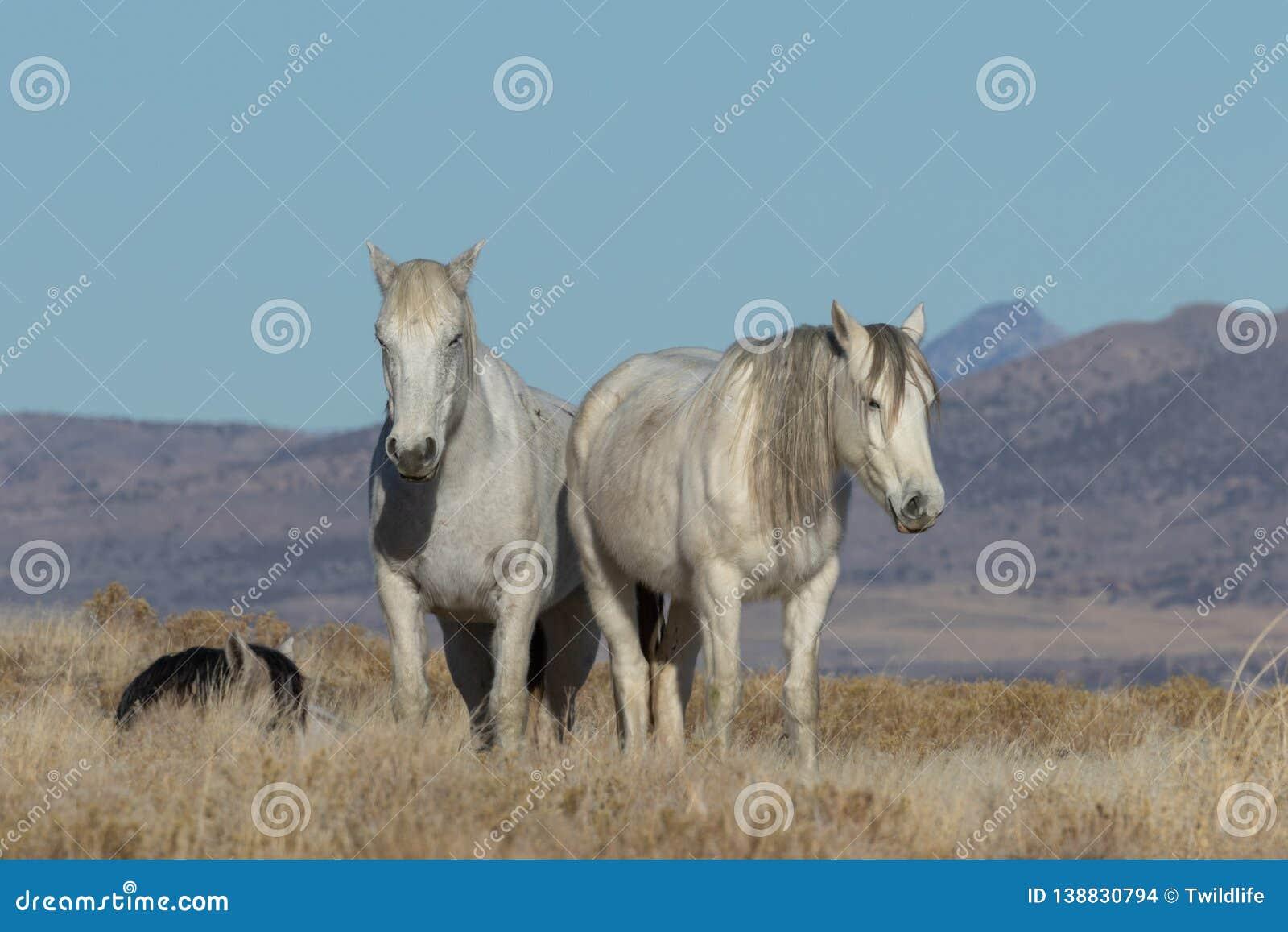 Beautiful Wild Horses In The Utah Desert In Winter Stock Photo Image Of Horse Winter 138830794