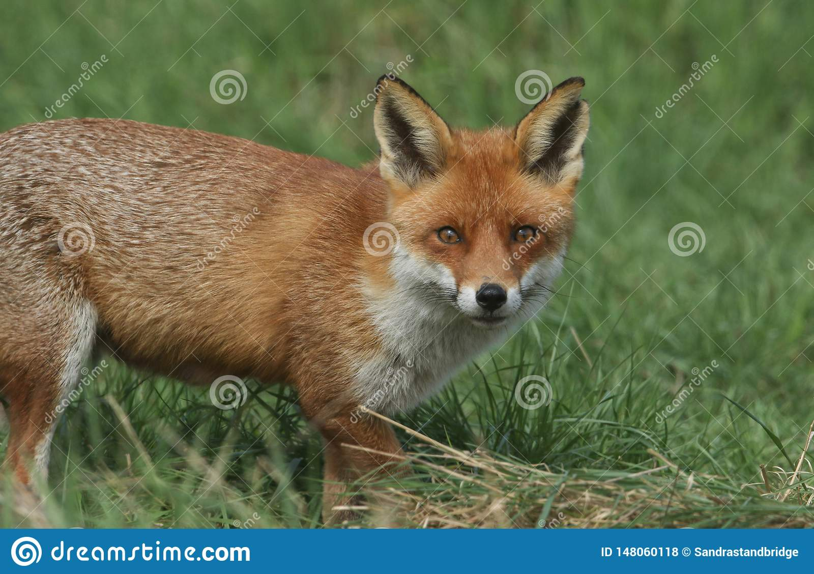 A magnificent wild Red Fox, Vulpes vulpes, hunting for food to eat in the long grass.