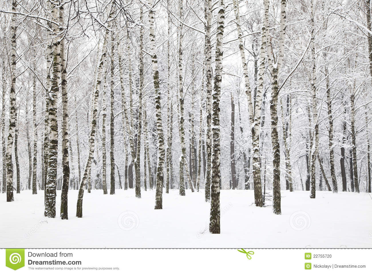 Beautiful Winter Birchwood Stock Photo Image 22755720