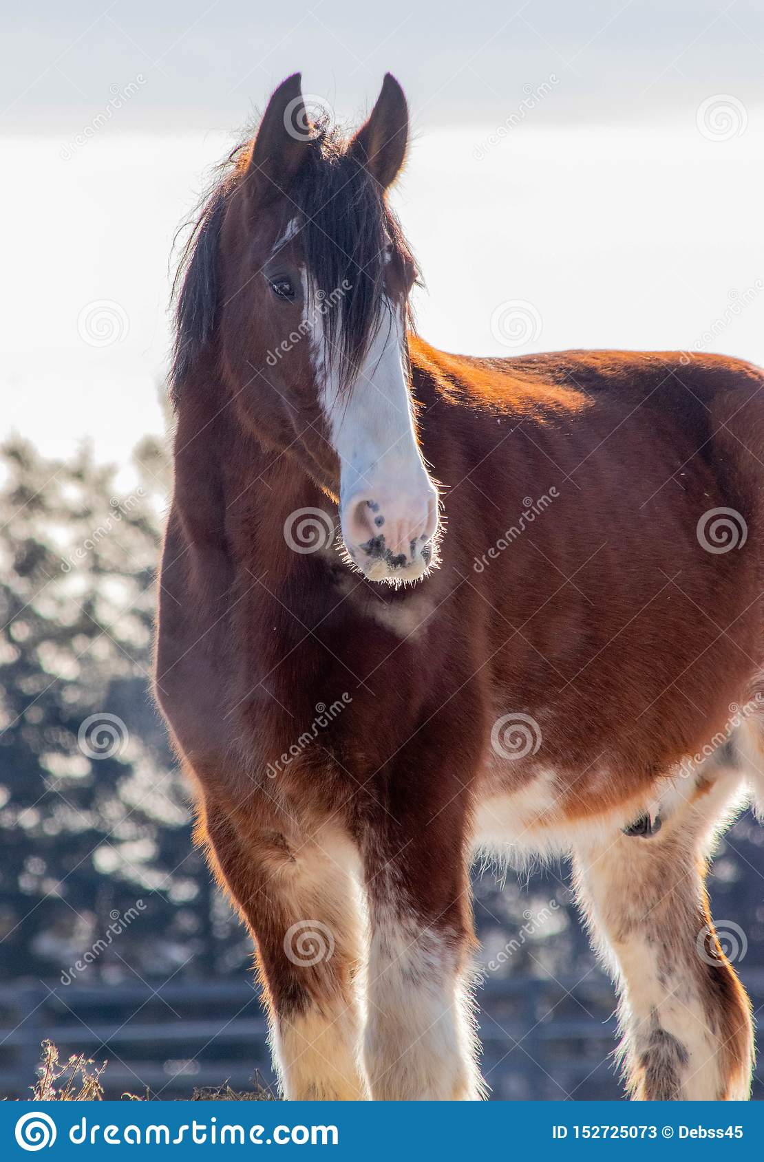 Beautiful Winter Day With The Clydesdale Horses Stock Image Image Of Clydesdale Equestrian 152725073