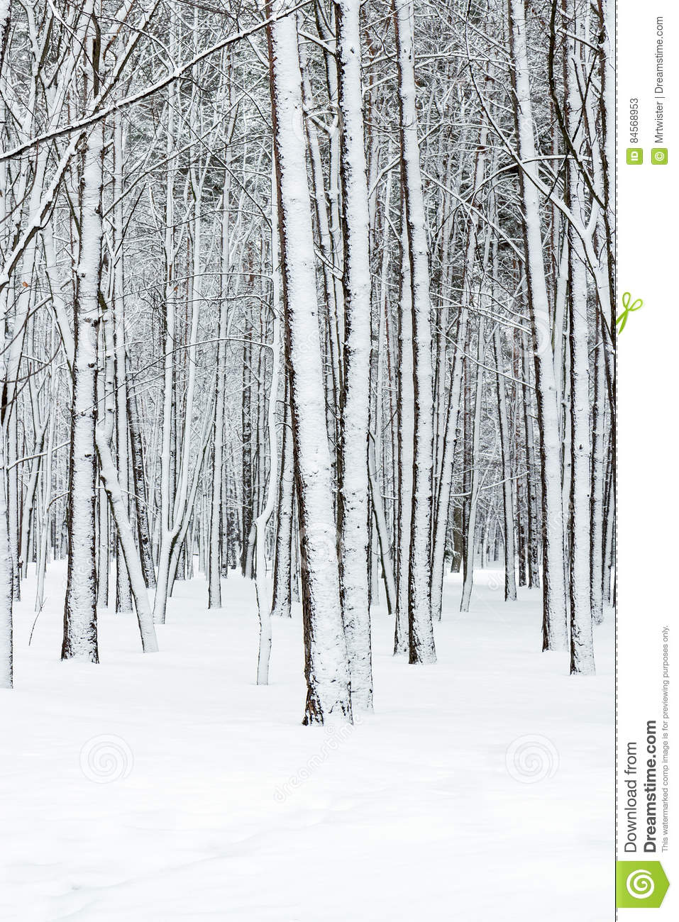 snowy forest white tree branches winter themed beautiful winter forest with bare tree trunks covered by 255