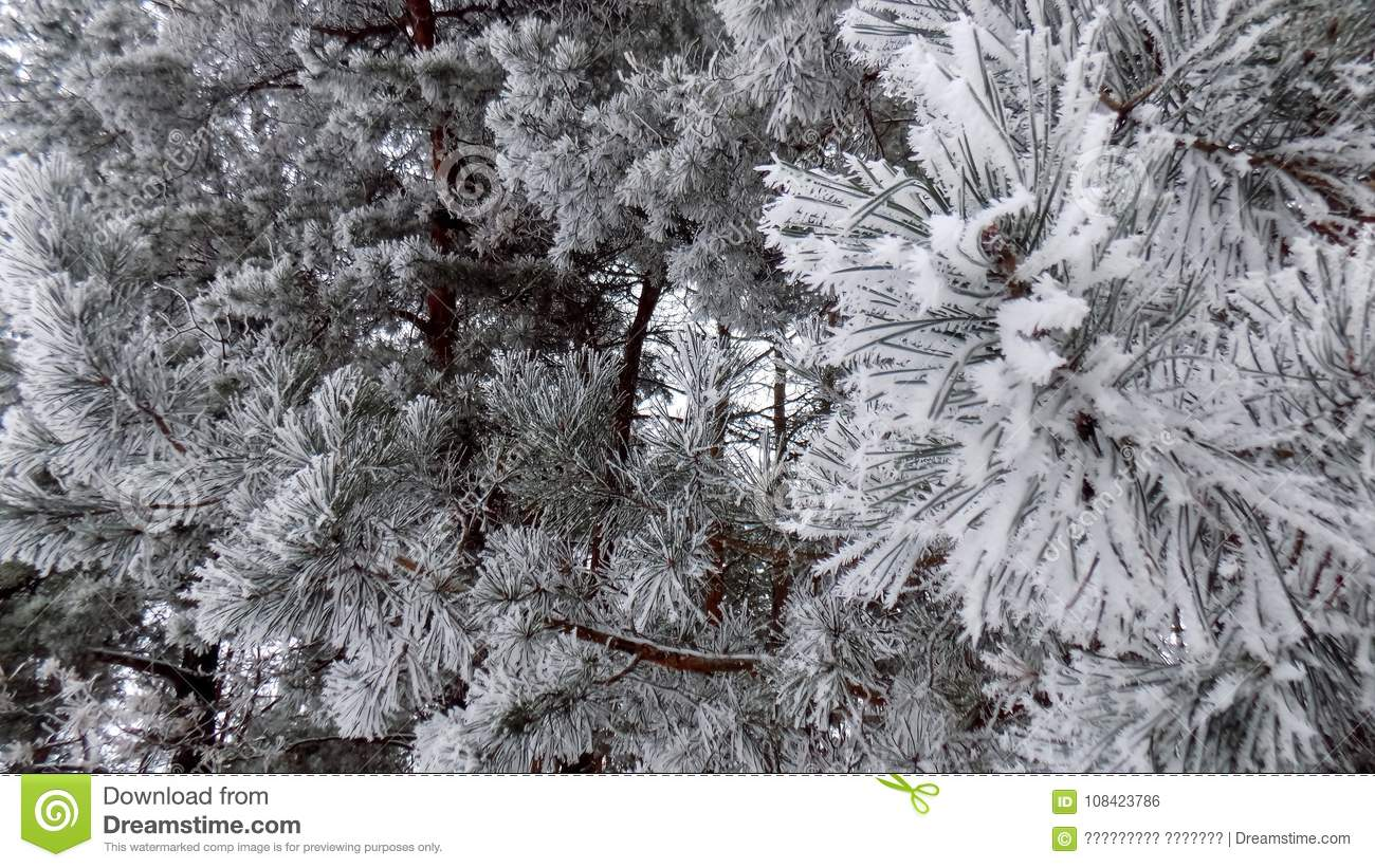 Winter nature backgrounds Beautiful Beautiful Winter Landscape Abstract Pine Forest Background Pines Branches Wallpaper Magical Nature Pavbcacom Beautiful Winter Landscape Abstract Pine Forest Background Pines