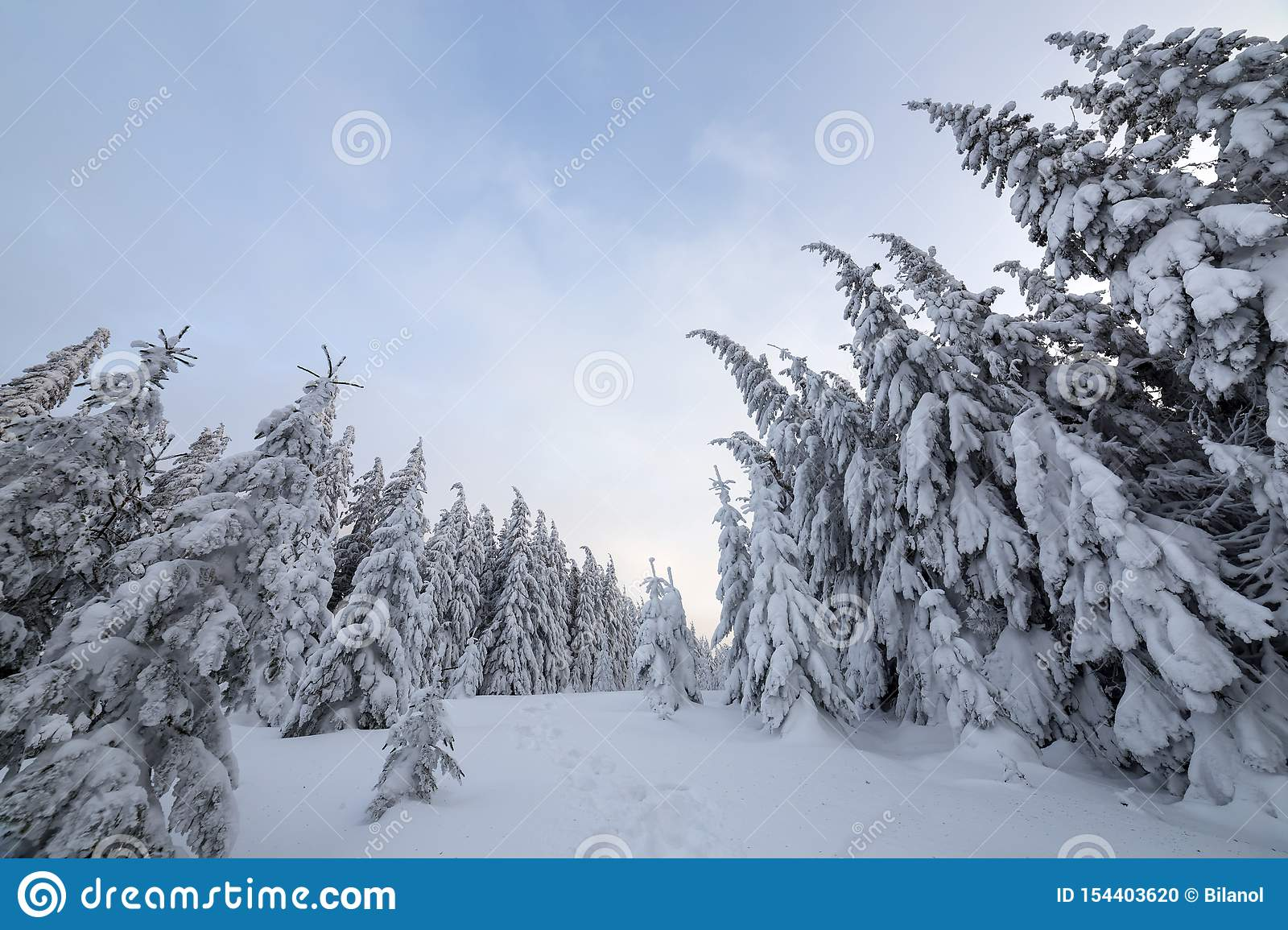 Beautiful winter landscape. Dense mountain forest with tall dark green spruce trees, path in white clean deep snow on bright
