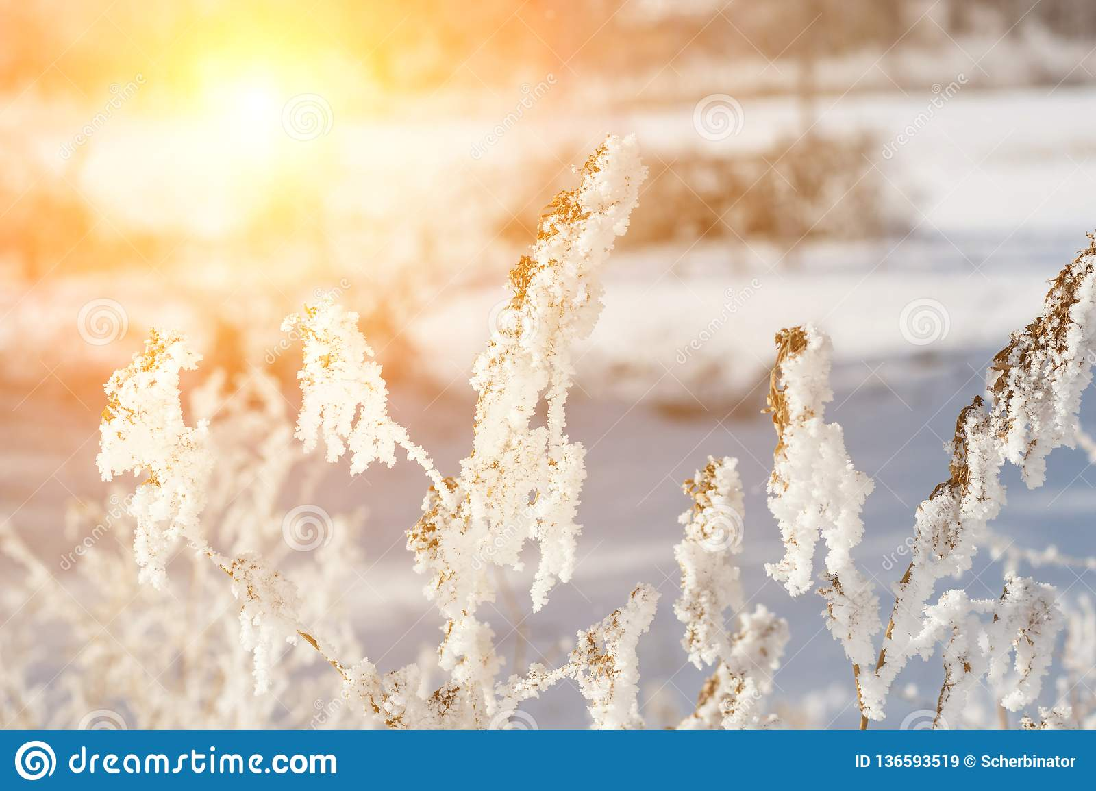 beautiful winter landscape with snow plant, trees and sunrise. winterly morning of a new day. purple winter landscape with sunset