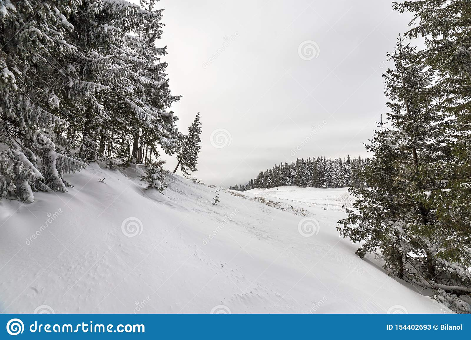 Beautiful winter mountain landscape. Tall dark green spruce trees covered with snow on mountain peaks and cloudy sky background