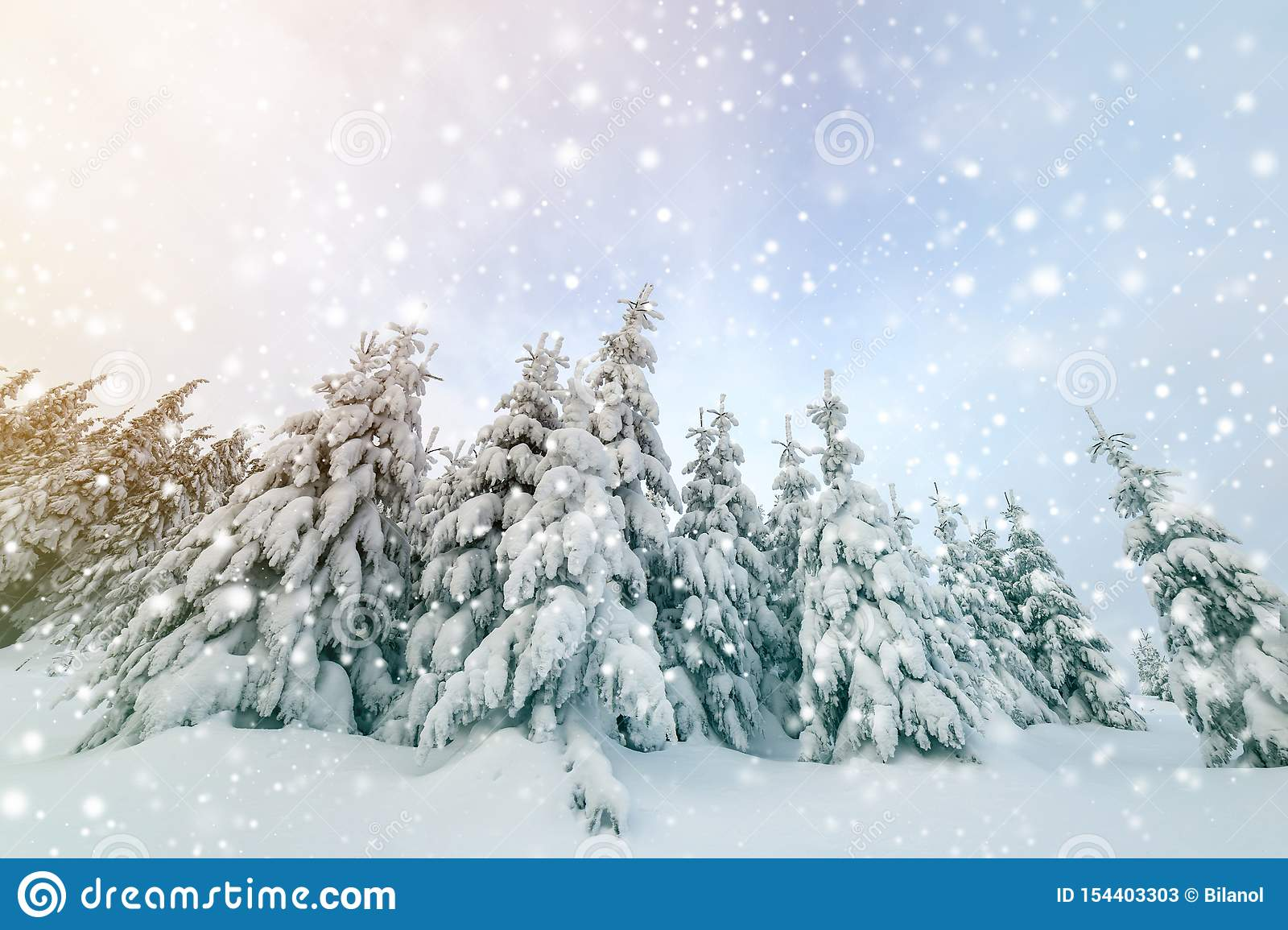 Beautiful winter mountain landscape. Tall spruce trees covered with snow in winter forest and cloudy sky background