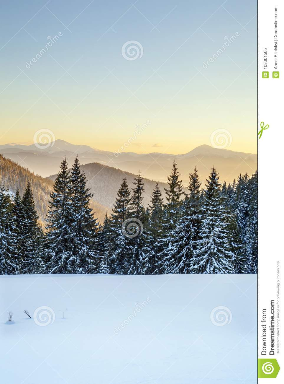 Beautiful winter panorama. Landscape with spruce pine trees, blu