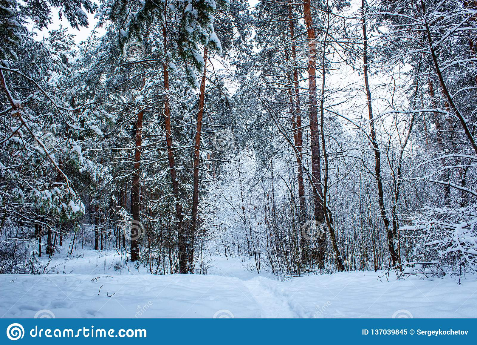 Beautiful winter pine forest in Russia. Winter background.