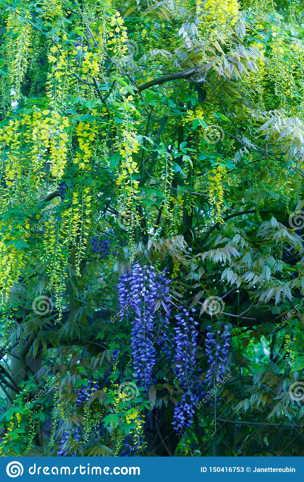 Contrasting coloured wisterias in yellow and purple - image