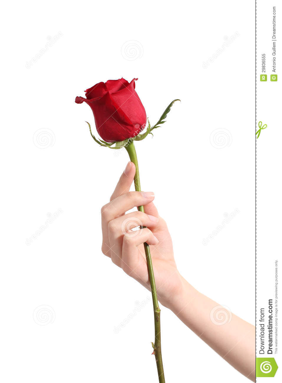 Beautiful woman hand holding a red rose and showing her manicure on a ...