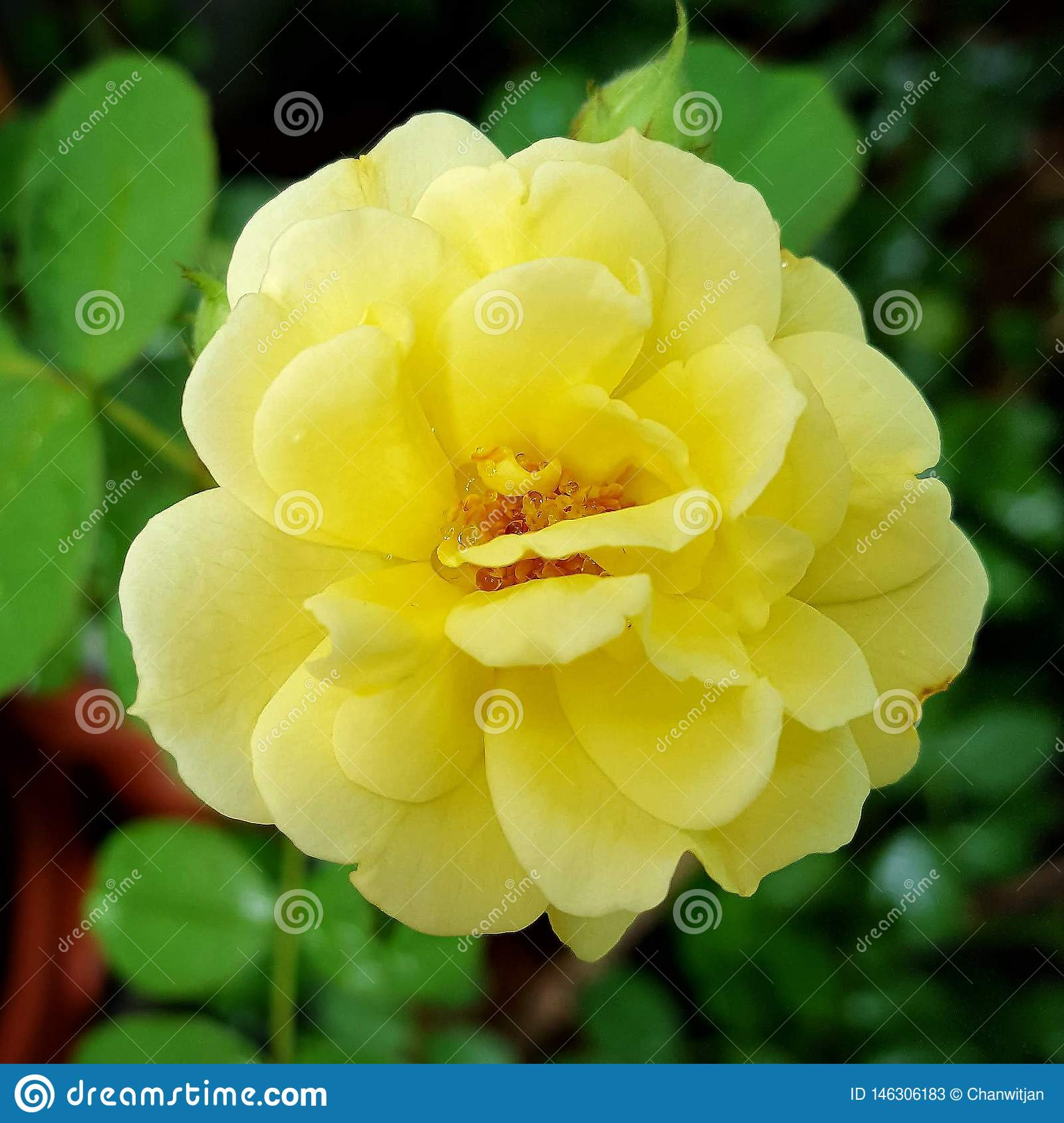 Beautiful yellow blossom rose in the garden