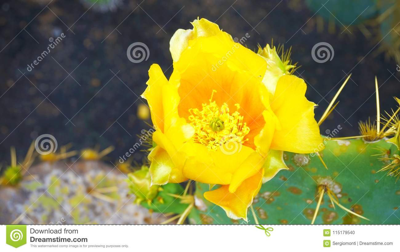 Beautiful Yellow Cactus Flower Yellow Prickly Pear Flower Stock