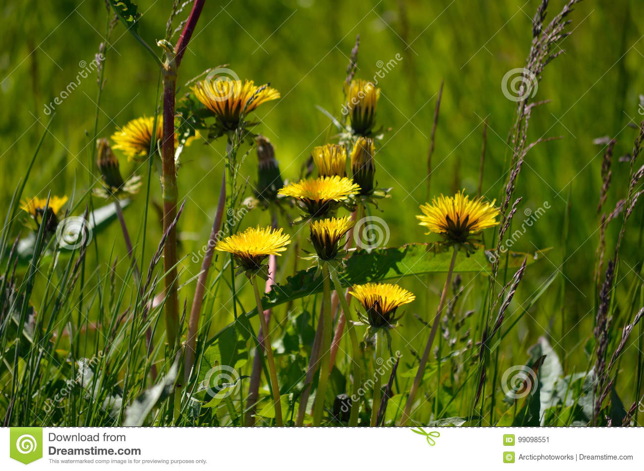 Beautiful Yellow Coltsfoot Flowers Stock Image Image Of Floral