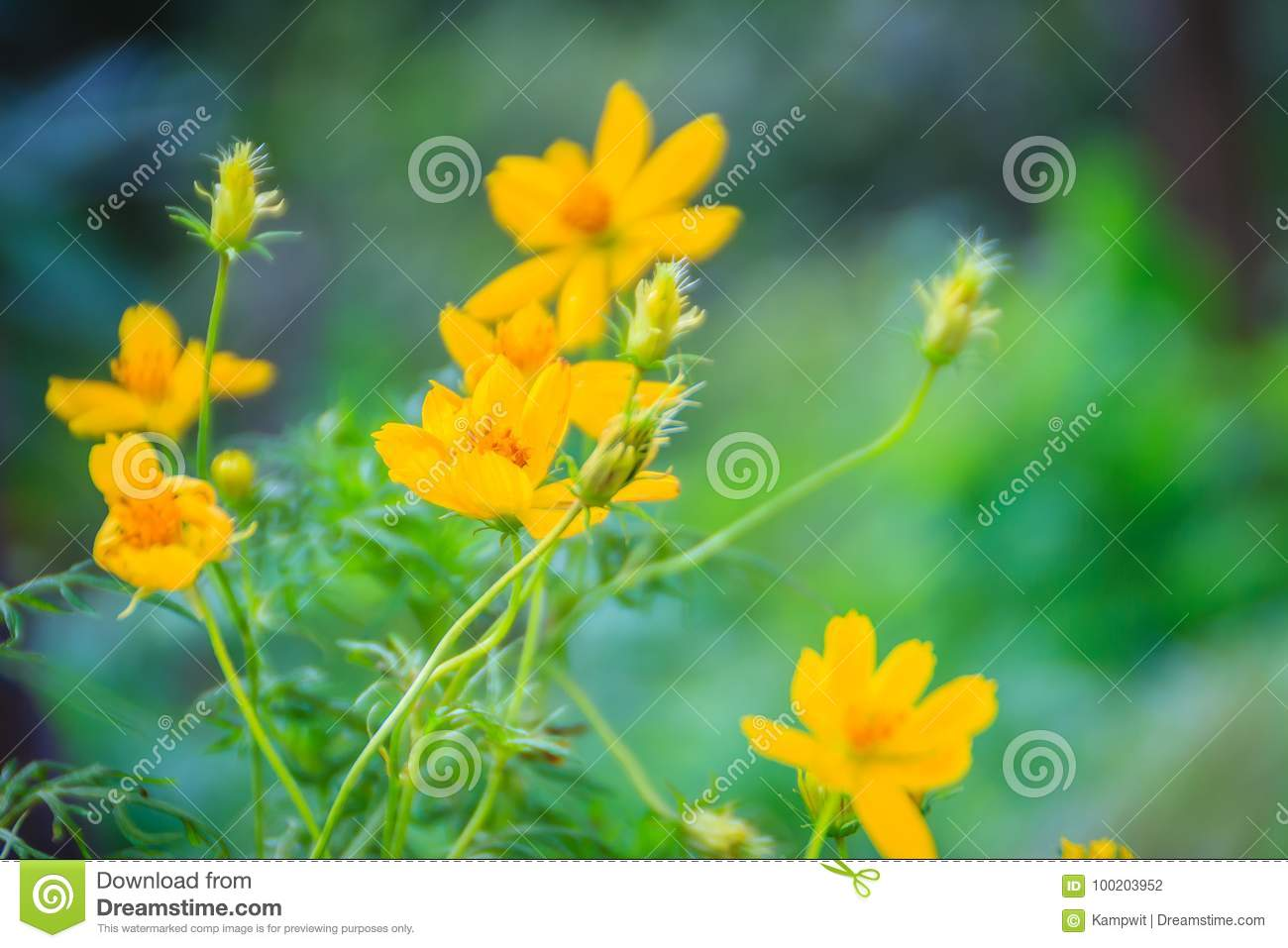 Beautiful Of Yellow Cosmos Flower In The Green Background Cosmos Is