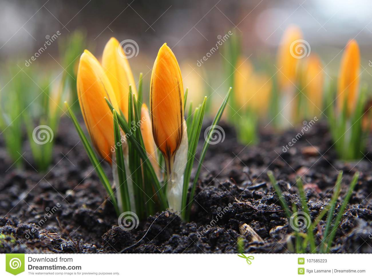 Beautiful Yellow Crocus Flower Early Spring Flowers Stock Image