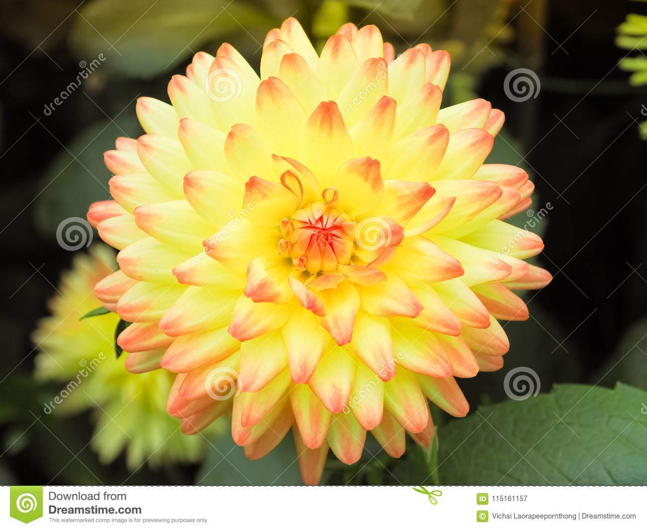 Beautiful yellow dahlia flower in garden stock image image of beautiful yellow dahlia flower in garden izmirmasajfo