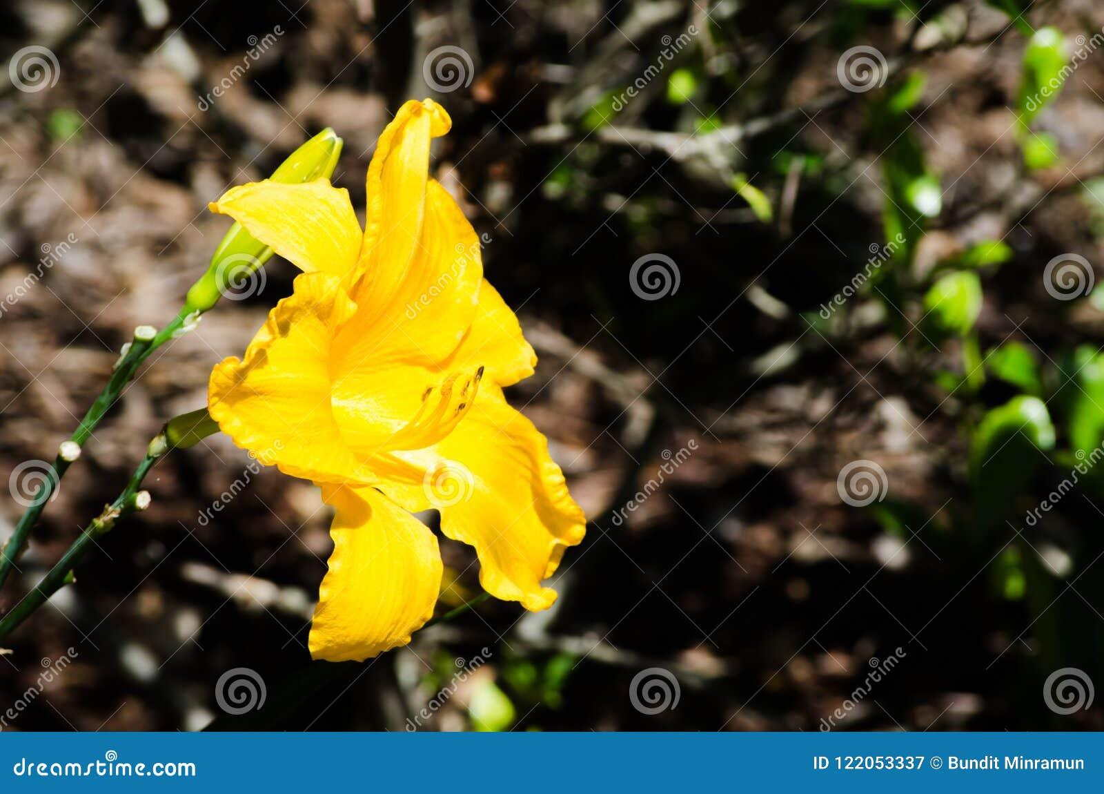 Beautiful Yellow ` Daylily California Sunshine ` Flower In A