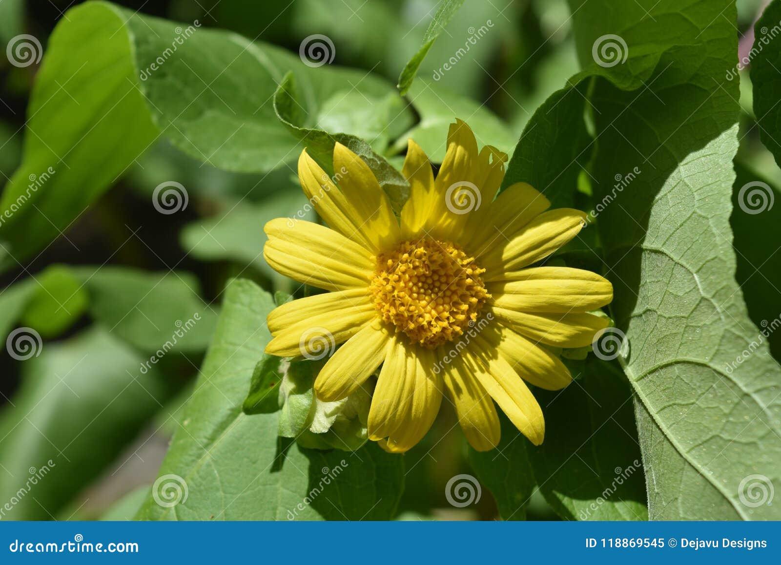 Beautiful herbal yellow flowers called leopards bane stock image beautiful herbal yellow flowers called leopards bane mightylinksfo