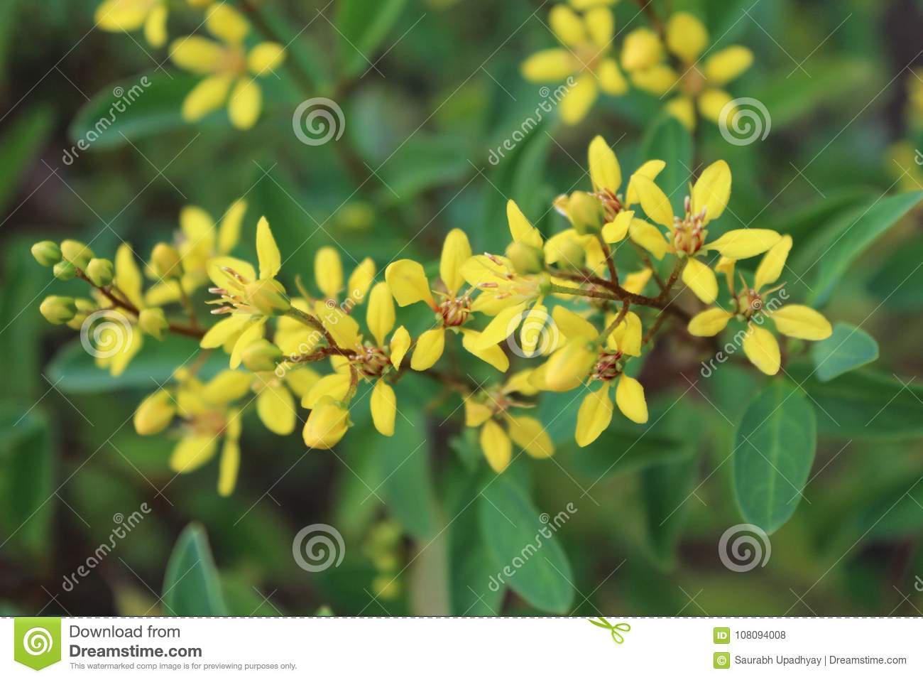 Beautiful yellow flower in garden with leaf stock photo image of beautiful yellow flower in garden with leaf izmirmasajfo