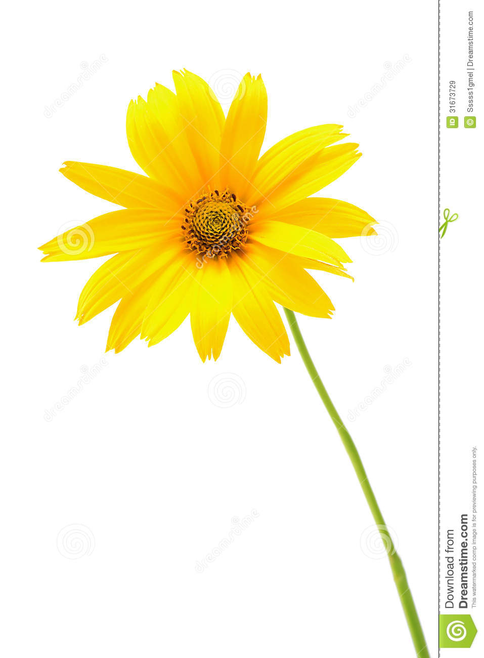 Beautiful Yellow Flower Isolated On White Background ...