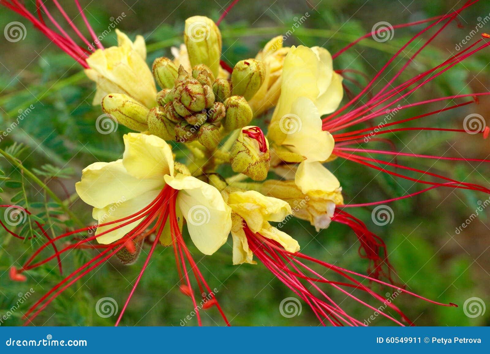 Beautiful yellow flower with long red stamens stock image image of download beautiful yellow flower with long red stamens stock image image of flowering flower mightylinksfo