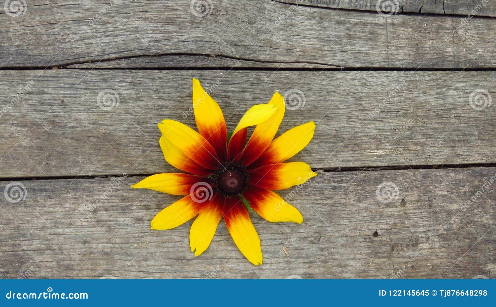 Rudbeckia hirta. Gazania. Isolated Black-eyed Susan. Beautiful Yellow Flower on Wooden Background.