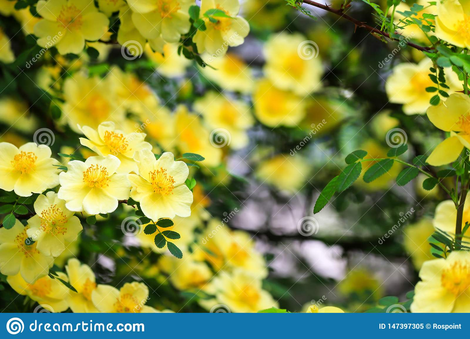 Beautiful yellow flowers bloomed on the branches of the bush in spring. Blooming tree in summer