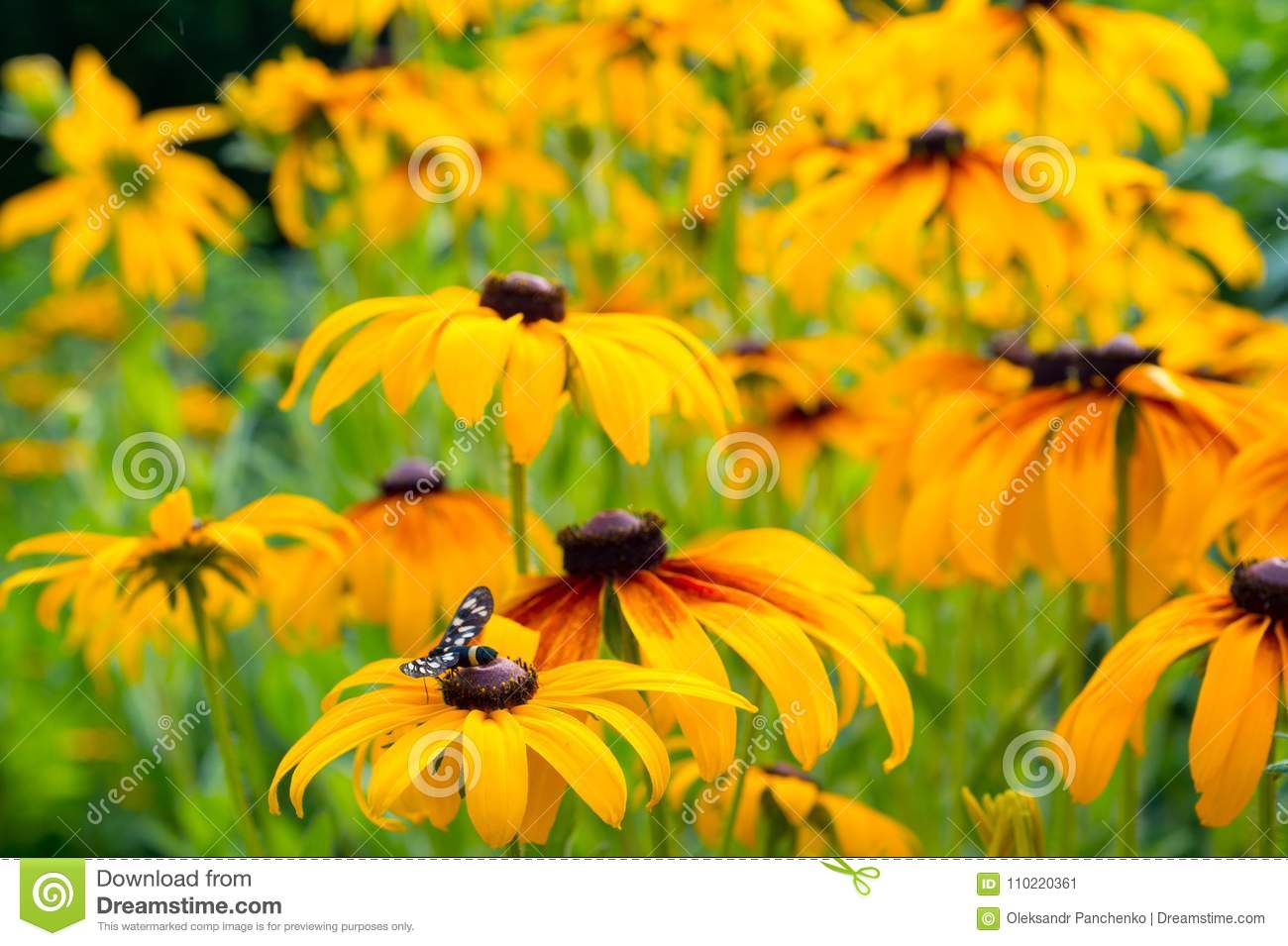 Beautiful Yellow Flowers Echinacea Paradoxa With Colorful Stock