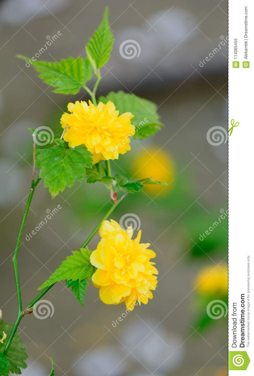 A beautiful yellow flowers in the spring in greece stock image a beautiful yellow flowers in the spring in greece izmirmasajfo