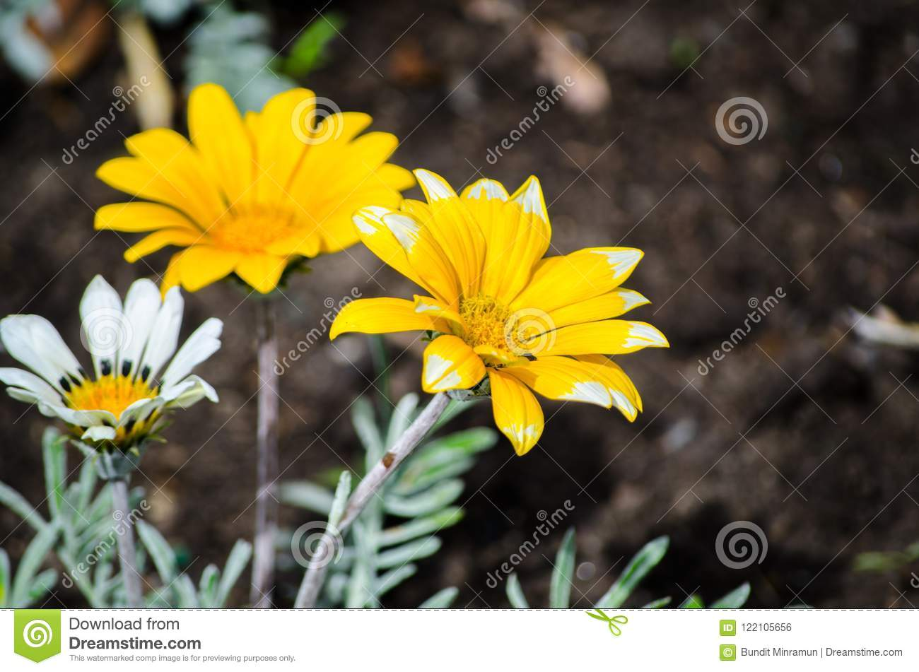 Beautiful yellow Gazania rigens plant grow on a flower bed in a spring season at a botanical garden.