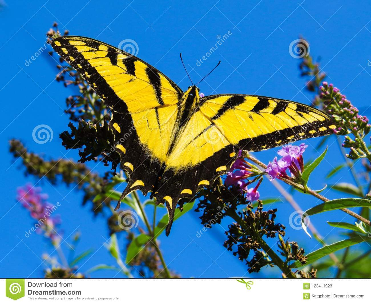 Beautiful Yellow Giant Swallowtail Butterfly On A Flower