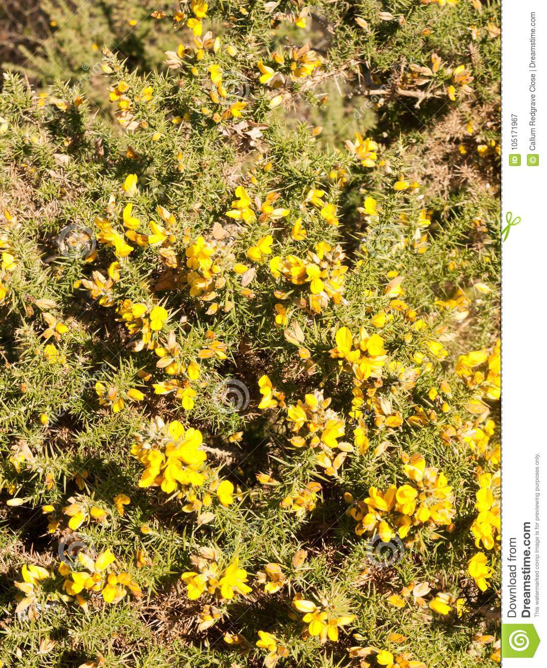 Beautiful Yellow Gorse Flowering Plant Spiky Autumn Tree Backgro