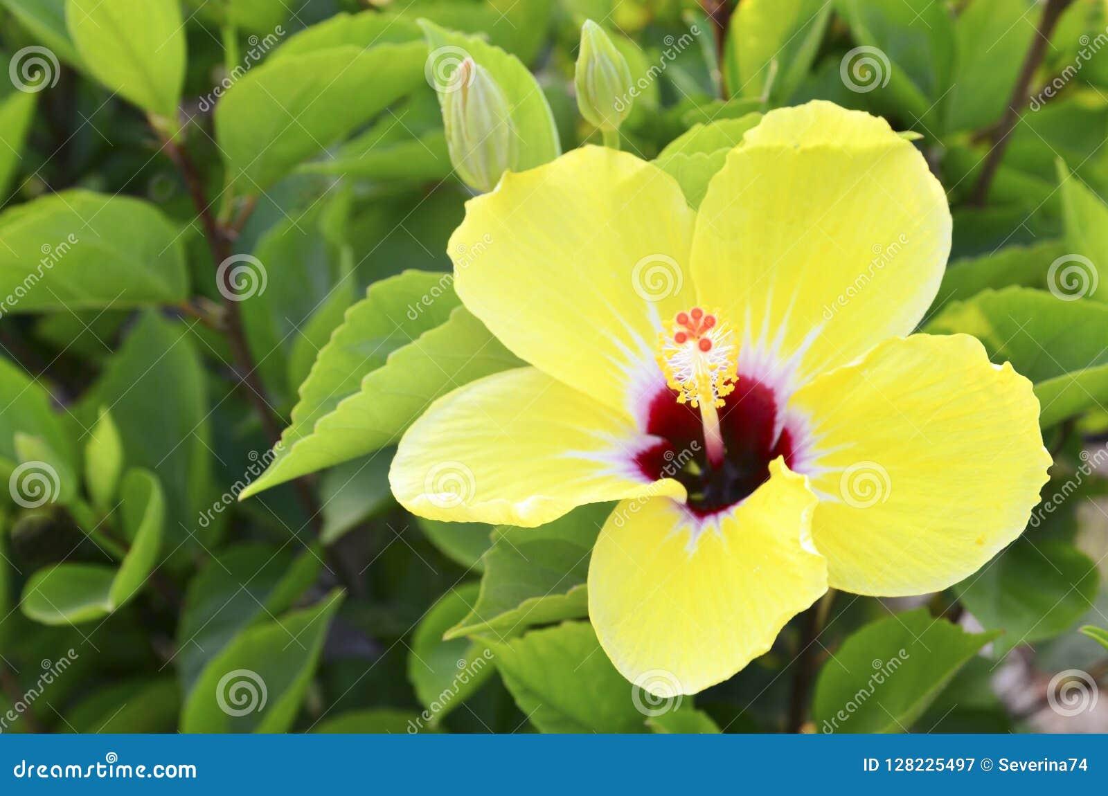 Beautiful Yellow Hibiscus Flower China Rosegudhalchabashoe Flower