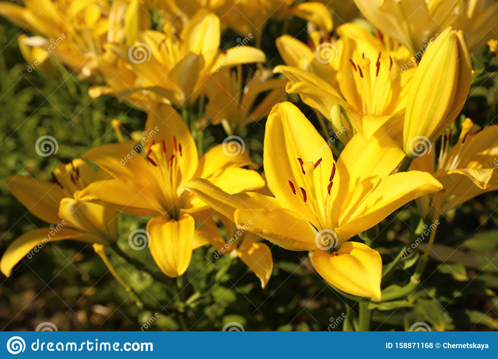 Beautiful Yellow Lilies In Field On Summer Day Stock Photo Image
