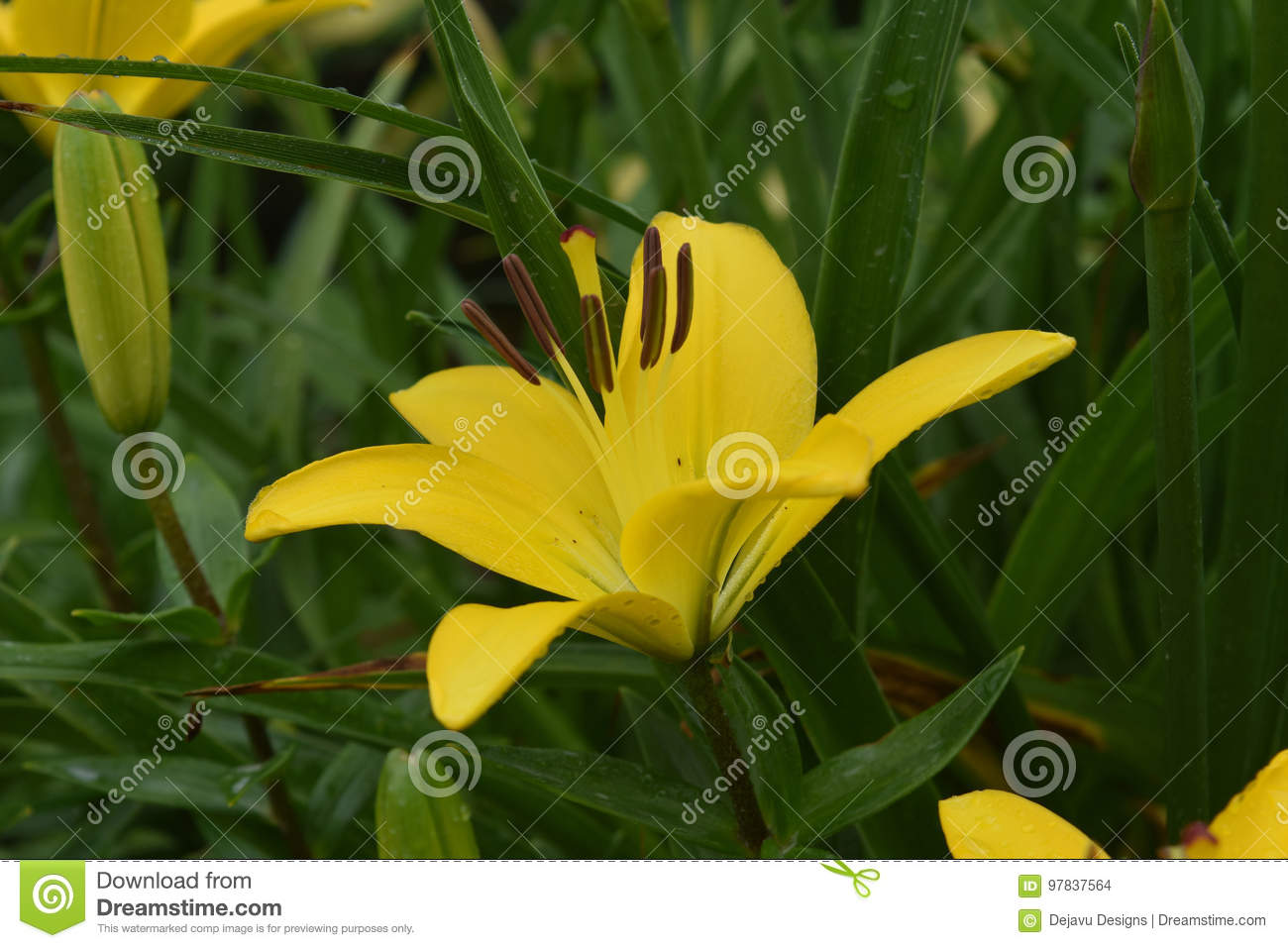 Really Beautiful Yellow Lily Growing In Nature Stock Photo Image